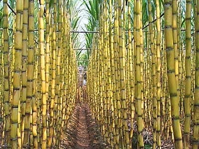 Sugar Cane For Energy Production